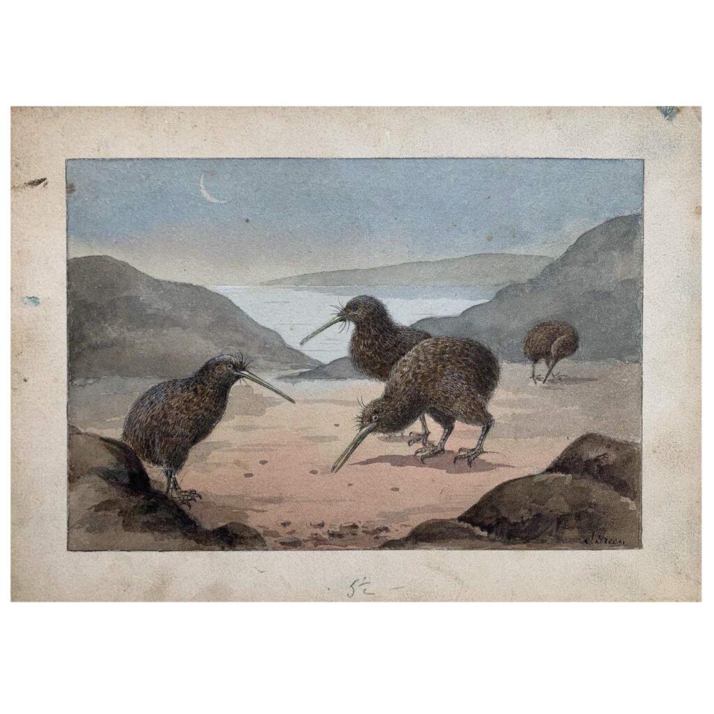 An original painted illustration of Kiwi Apteryx c 1910s-1920