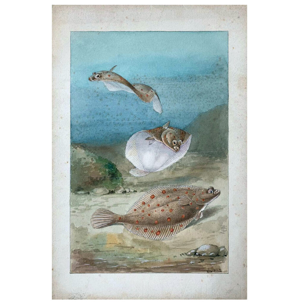 An original vintage watercolour illustration of Plaice fish in a marine environment, c. 1910s-1920s