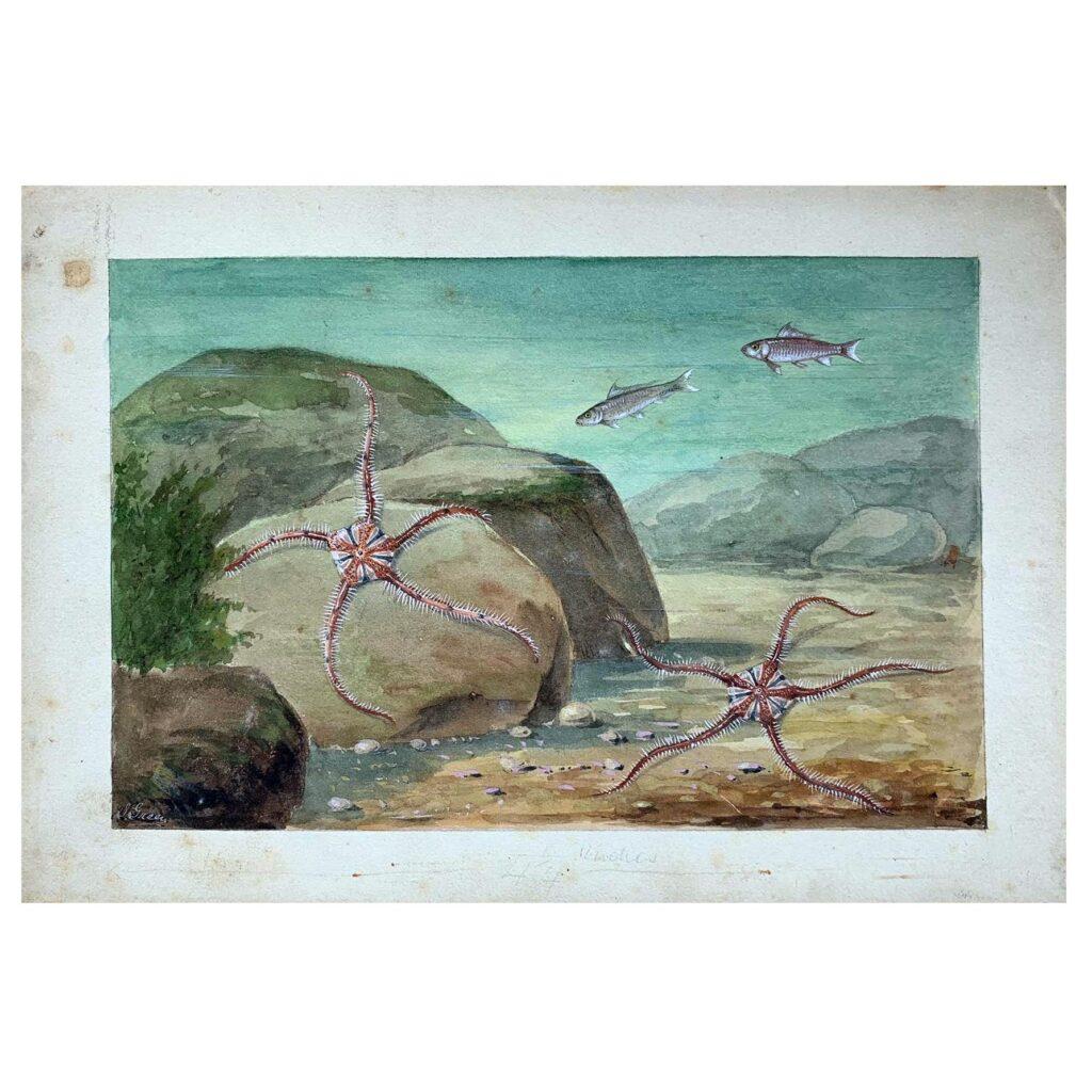An original illustration of brittle star fish